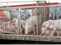 如何稳定猪肉价格?国家发改委:已启动年内第二轮收储工作,持续时间会更长、规模会更大