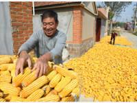 农户后悔卖早了!玉米涨价调查:多地收购价半年涨30%,养猪企业无奈:每斤猪肉多1元饲料成本