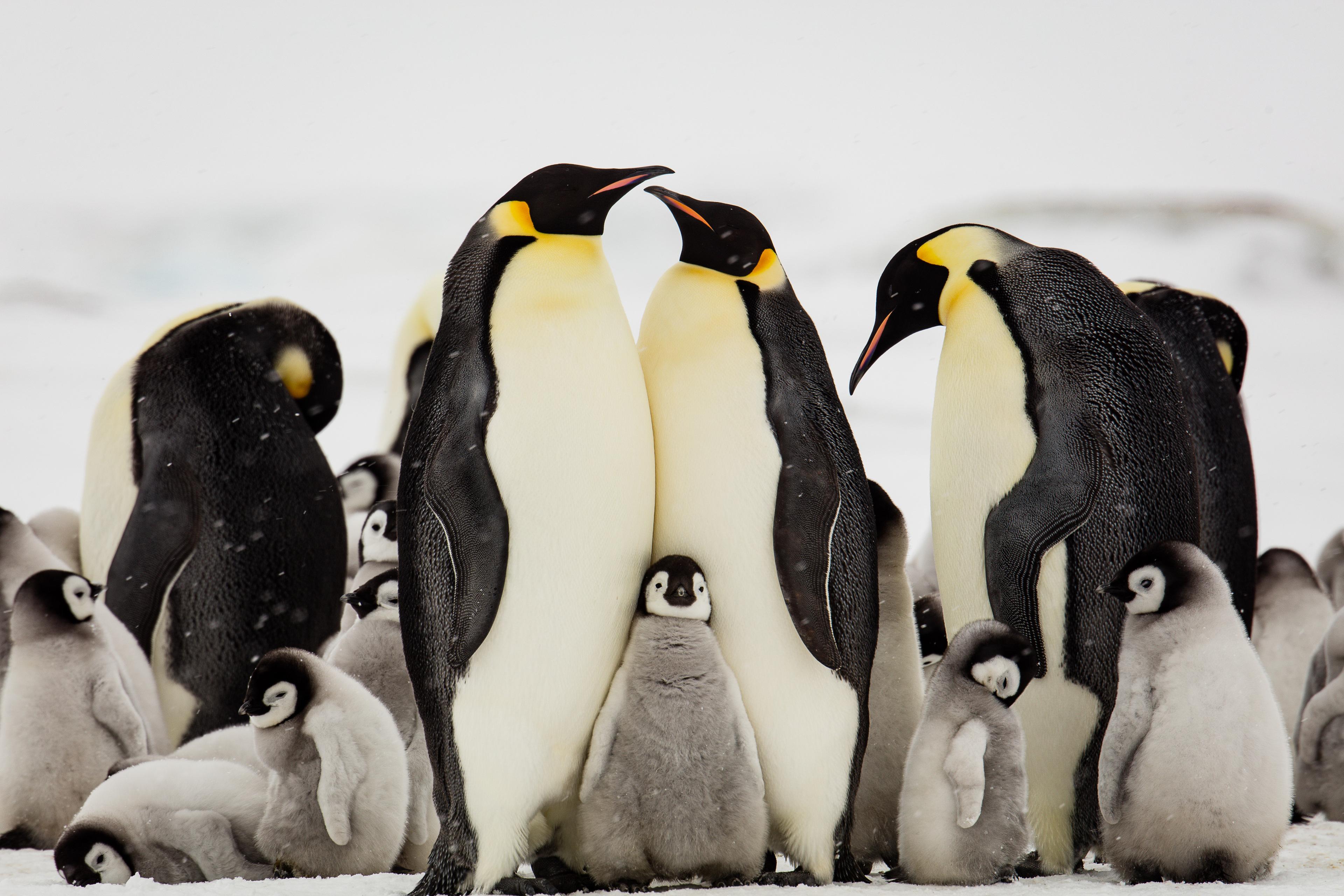 新研究:气候变暖或致帝企鹅本世纪末灭绝! | 每经网